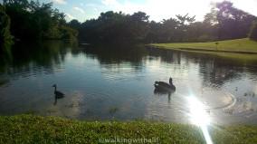 Black swan lake at Botanic Gardens