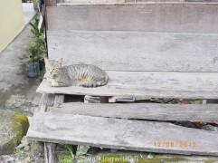 Village cat.