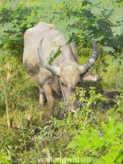 Up close with Mr Buffalo. Batak people love buffalos and the buffalo head is usually offered as a sacrifice. *shudders.