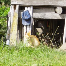 A ginger eating grass.